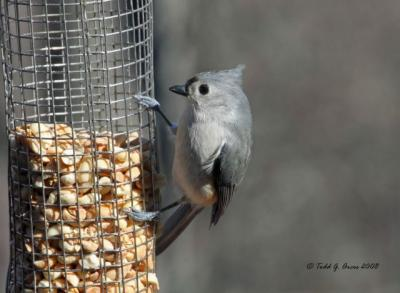 Tufted Titmouse by Todd Arcos