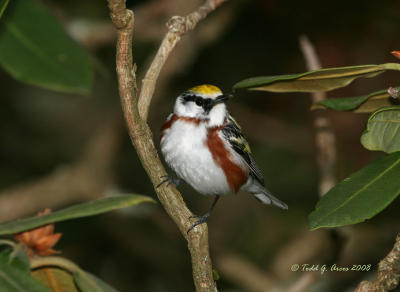 Chestnut-sided Warbler by Todd Arcos